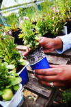 Planting in re-used yoghurt pots in greenhouse