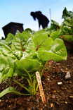Allotment scene - growing chard
