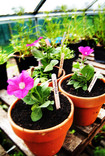 Petunias in a greenhouse