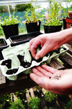 Planting seeds in re-used egg box in greenhouse