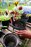 Planting flowers in pots in greenhouse