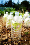 Re-using plastic bottles for seedlings on allotment