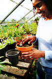 Woman planting flowers in pots in greenhouse