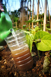 Re-using plastic bottle on allotment - catching slugs